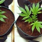 Transplating tips cannabis