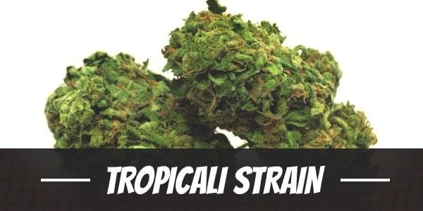 Tropicali Strain