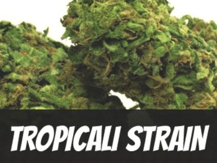Tropicali Cannabis Strain Review