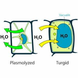 Turgor and Plasmolysis