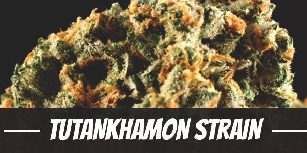 Tutankhamon Strain