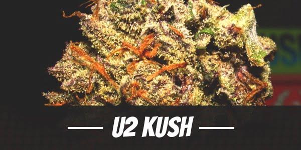U2 Kush Strain
