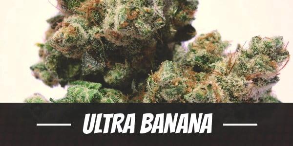Ultra Banana Strain