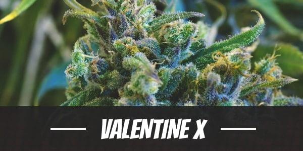 Valentine X Strain