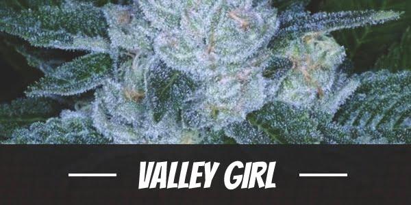Valley Girl Strain