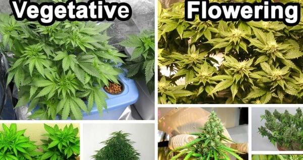 Vegetative vs Flowering