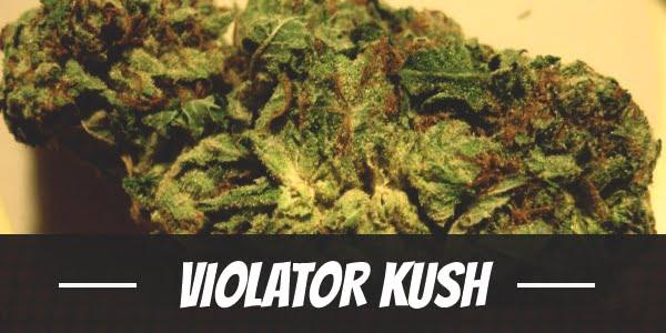 Violator Kush