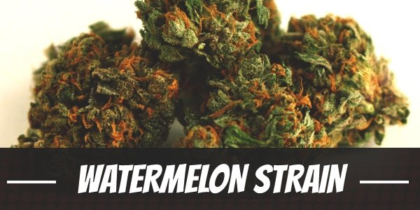 Watermelon Strain