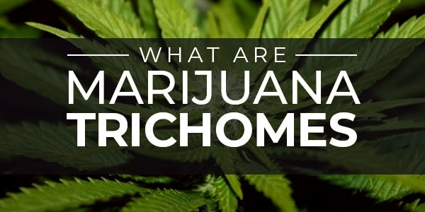 What Are Marijuana Trichomes