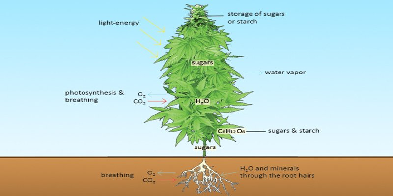 What is a cannabis plant