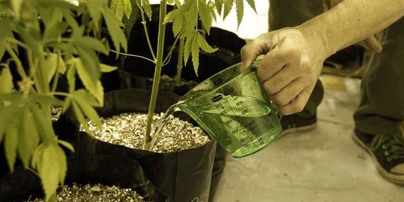 When To Water Your Cannabis Plants