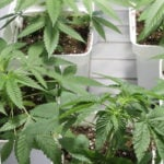 When to transplant cannabis plants