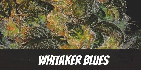 Whitaker Blues