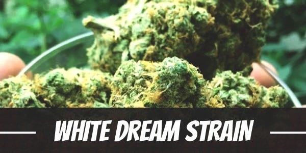 White Dream Strain