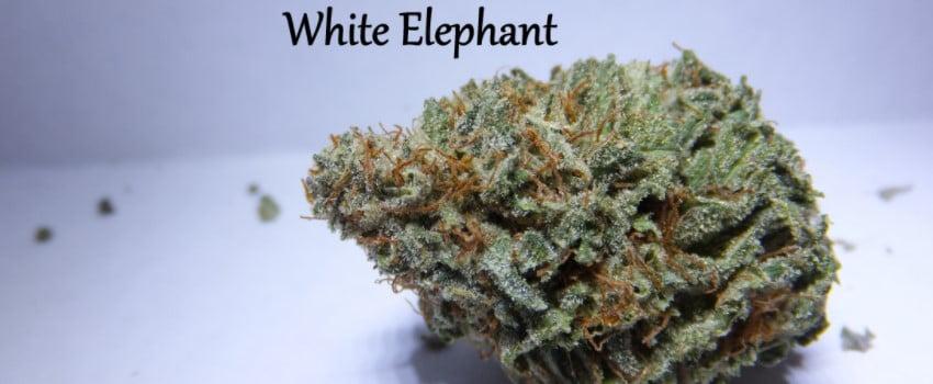 White Elephant Effects