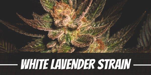 White Lavender Strain