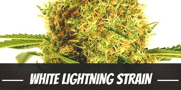 White Lightning Strain