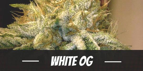White OG