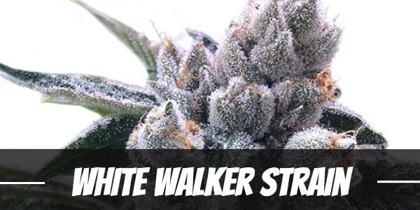 White Walker Strain