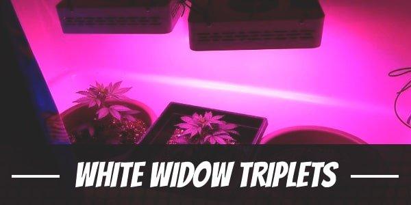 White Widow Triplets