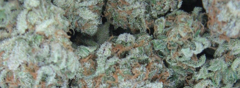 White Widow strain weed