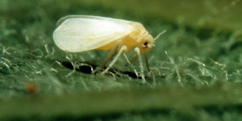 Whiteflies on cannabis plants