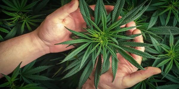 Why Grow Marijuana