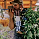 Why transplant weed plants