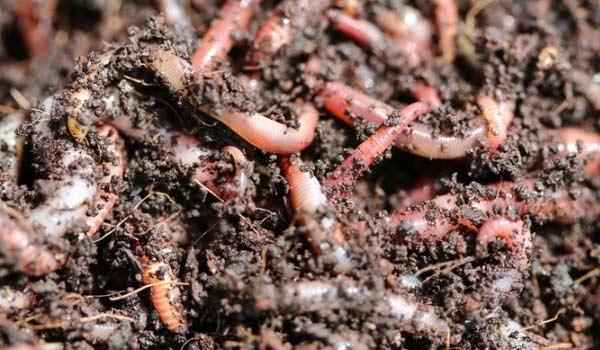 WormCasting in Growing