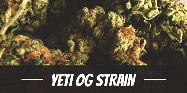 Yeti OG Strain