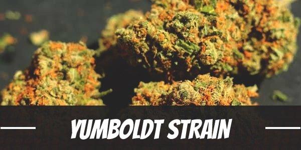 Yumboldt Strain