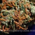 Amnesia cannabis picture