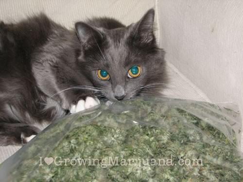 Cat Is Eating Weed