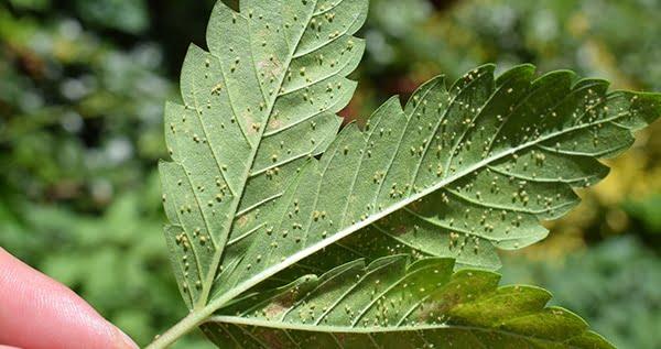 aphids on marijuana plants