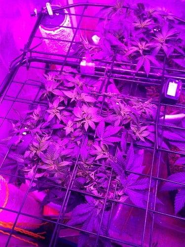 plants-in-grow-room