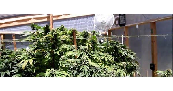 Growing autoflower in greenhouse