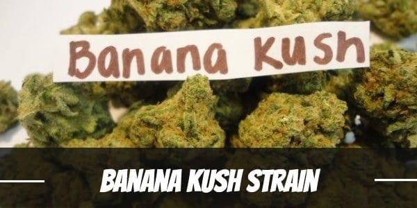Banana Kush Strain