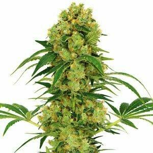 high yield plant