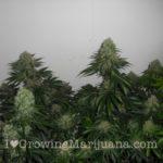 Big white marijuana