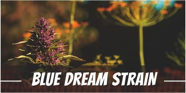 Blue Dream marijuana Strain