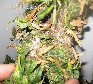 bud rot on cannabis