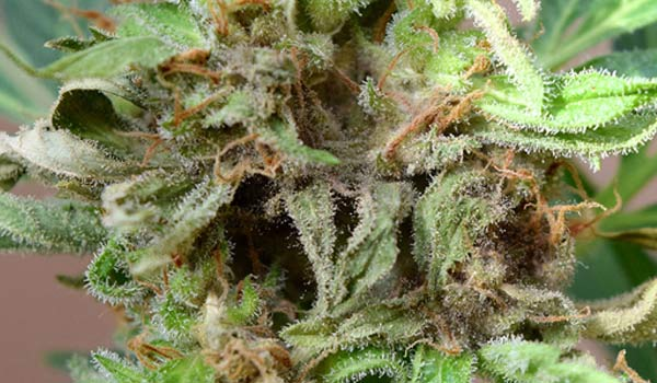 bud rot weed