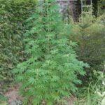 Outdoor cannabis growing