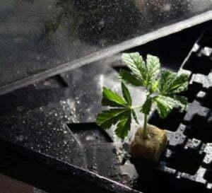 marijuana clones won't root
