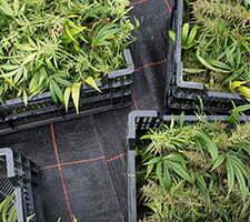 how to become marijuana trimmer