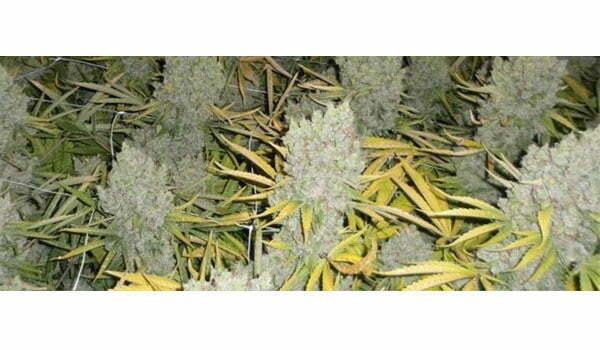 cannabis harvest flushing