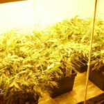 Cannabis indica growing