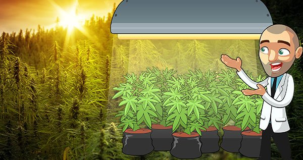 light requirements cannabis plant