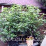 Hybrid cannabis plant