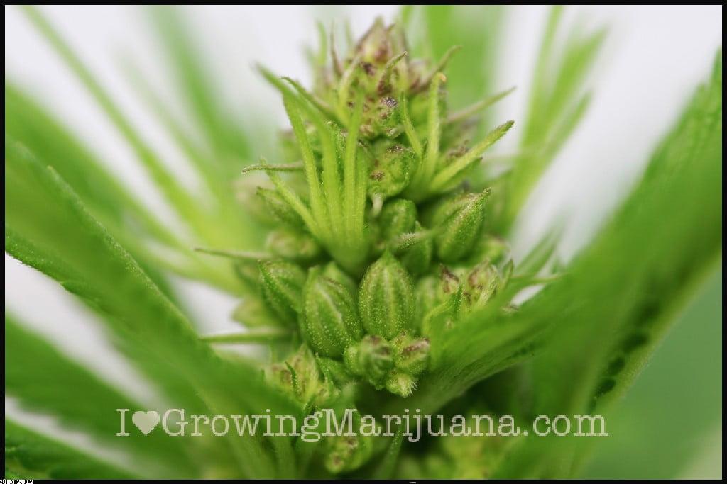 Marijuana pictures male